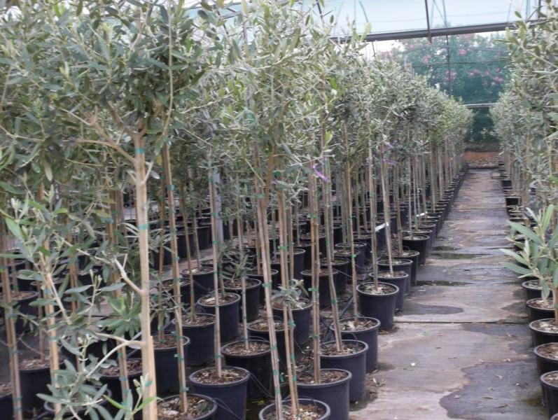 Olivos for Viveros de olivos